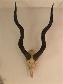 Skull and horns