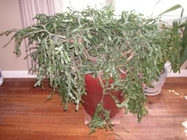 Huge, old, Christmas cactus