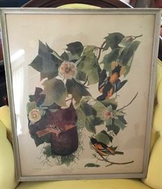 Framed Audubon - Baltimore Orioles