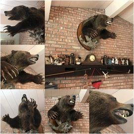 Canadian Bear Head and Shoulders Mounted