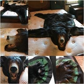 Real Brown Bear Skin Rug.  Medium size.  Full Head, body and claws.