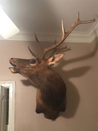 Huge taxidermy elk mount...picture does not do it justice!