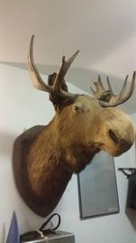 "MOOSE HEAD TAXIDERMY (36"" ANTLER SPREAD)"