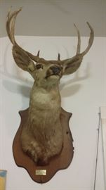 LARGE MULE DEER HEAD