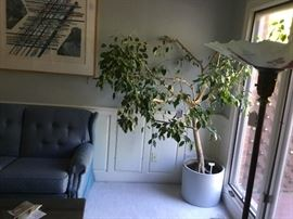 Large ficus tree