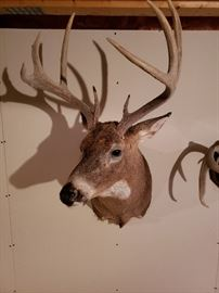Whitetail Deer Head Taxidermy Mounted.  To Bid on this Item:  https://ctbids.com/#!/description/share/38009