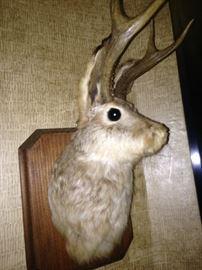 "The ""Bighorn Rabbit"""