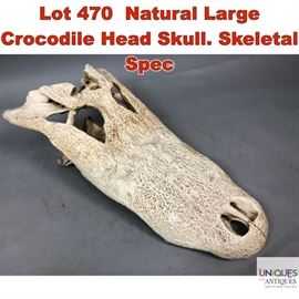 Lot 470 Natural Large Crocodile Head Skull. Skeletal Spec