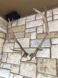 Huge Caribou Antlers