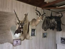 African Black buck trophy, impala trophy, wildebeast (gnu) trophy, greater kudu skin at left, impala skin at right.