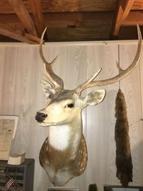 Beautiful white tail dear mount