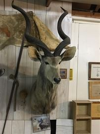 Greater Kudu mount (from South Africa - award winner).
