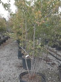 1 Flame Amur Maple 25 gallon shrub