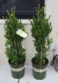 1 qty. Green Tower Boxwood  Premium Landscapin ...
