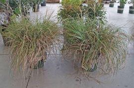 2 qty. Adagio Maiden Grass  Premium Landscapin ...