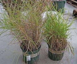 1 qty. Shenandoah Switch Grass  1 qty. Karle ...