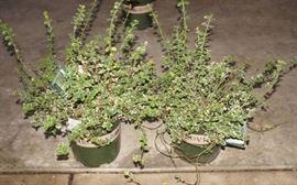 2 qty. Emerald Gaiety Wintercreeper  Premium L ....