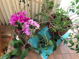 Orchids and Schefelera's