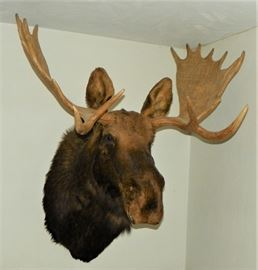 20 point mature bull moose mount.