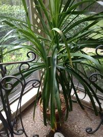 Large live plant