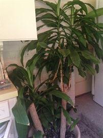Extra big corn plant