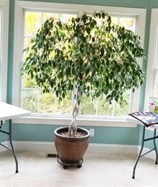 Braided ficus tree, healthy and stunning!