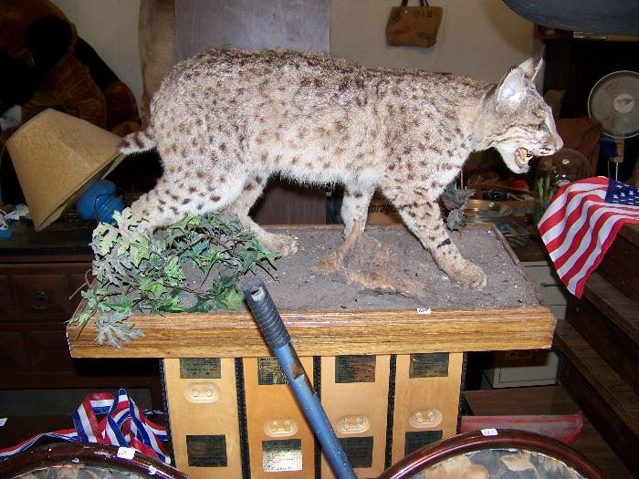 Stuffed lynx and unusual table.