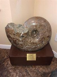 Ammonite Pachydiscus