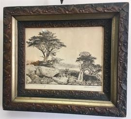 Engraving of Monterey Pines by William Ostrander