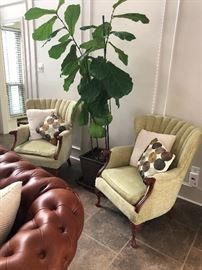 Matching newly re-upholstered  vintage arm chairs and a tall Fiddle Leaf Fig plant