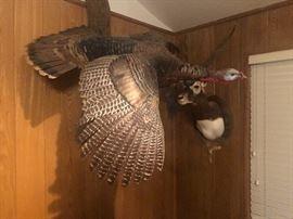 In flight Wild turkey mount