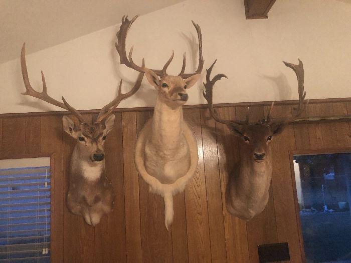 Fallow deer and other rare deer mounts