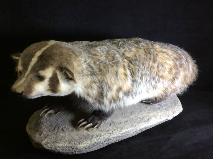 Male Badger Taxidermy