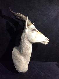 White Blesbok Antelope