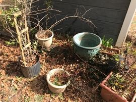 Lots of rose bushes, planters