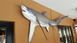 13-1/2 ft Mounted Big-eye Thresser Shark.   In perfect condition.  (From Grays Taxidermy)