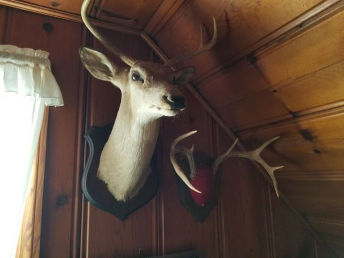 taxidermy deer head and antlers