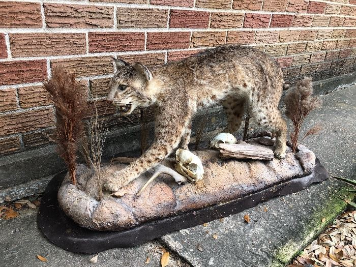 """Collectors Bobcat  Measures approximately 40"""" long x 19"""" tall x 12"""" wide. Nice condition."""