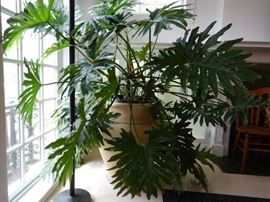 LARGE PHILODENDRONS NEED A NEW HOME