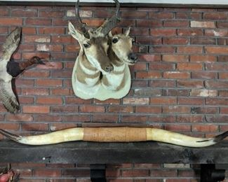 Male and Femail Pronhorns mounted in great shape. Duck has tail and wing issues. Long horns have leather tooled center