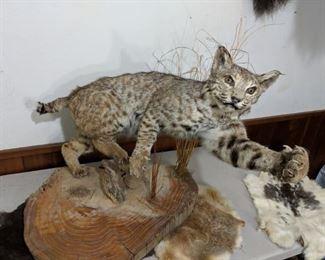 Bobcat mounted