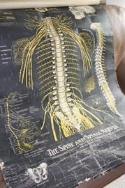 """Antique wall chart """"The Spine and Spinal Nerves"""""""