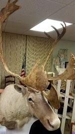 Much cool miscellaneous!! Caribou head mount