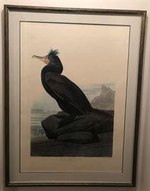 Audobon Double-crested Cormorant