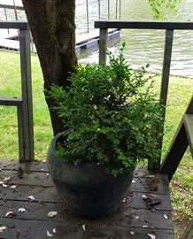 Large blue flower pot with boxwood plant (3)