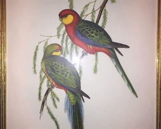 early Gould parrot print