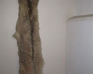 Coyote pelt - this was discovered road kill that was sent to a taxidermist