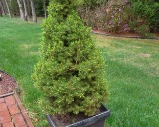 outdoor potted tree