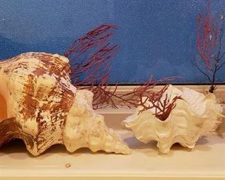 Large seashells