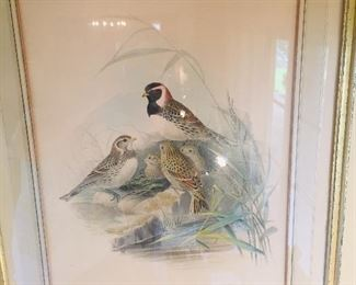 an early Gould lithograph